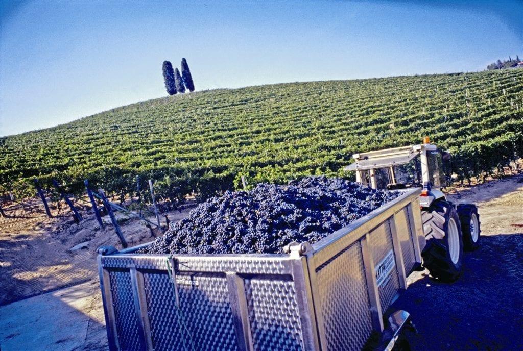 Michele Chiarlo - Grape Harvest
