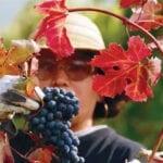 Grapes from La Morra, Piedmont, Italy - Michele Chiarlo
