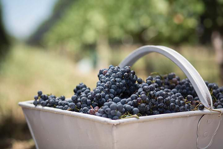 Basket of Pinot Noir red wine grapes