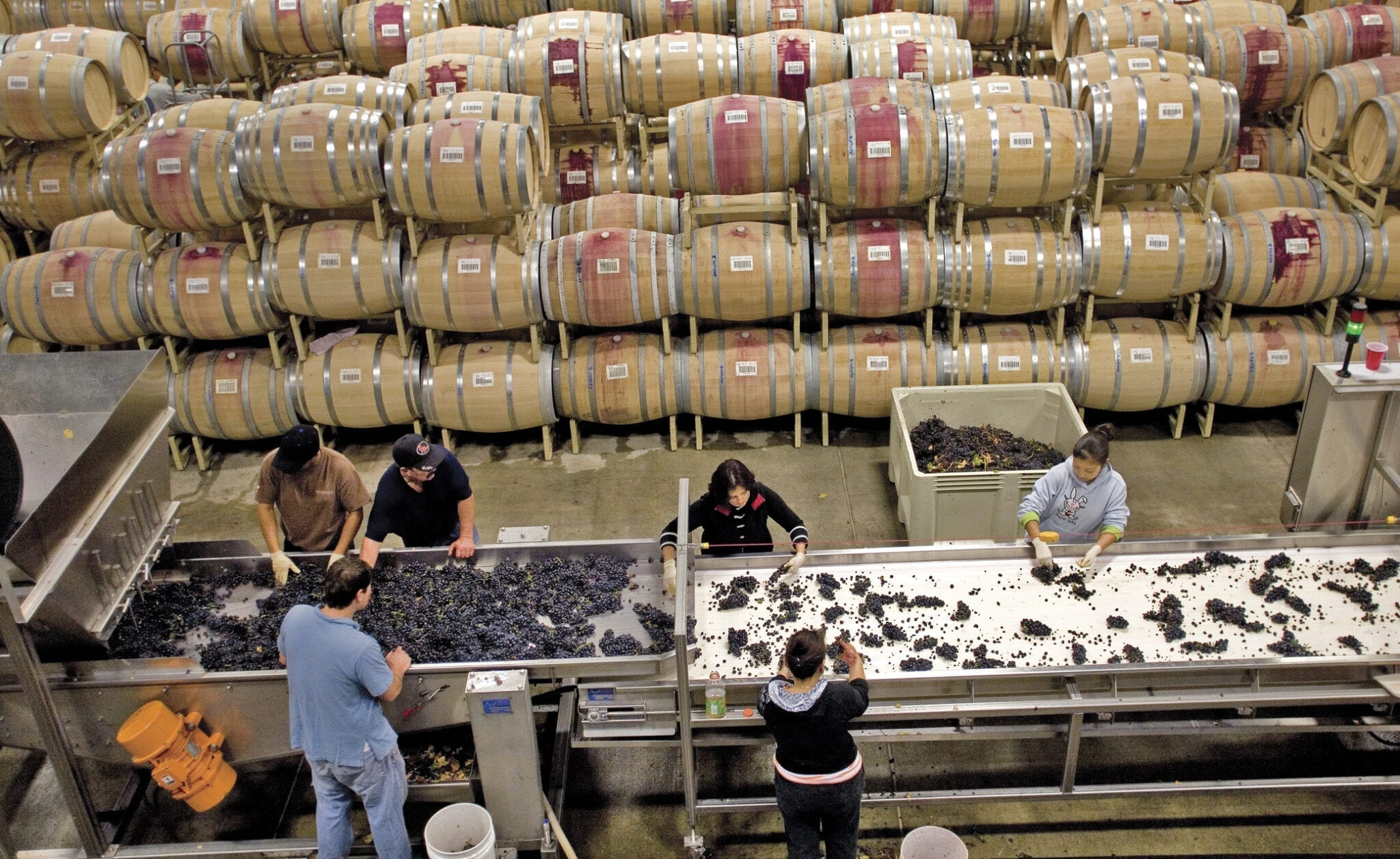 Sorting table, grapes, harvest, St. Francis