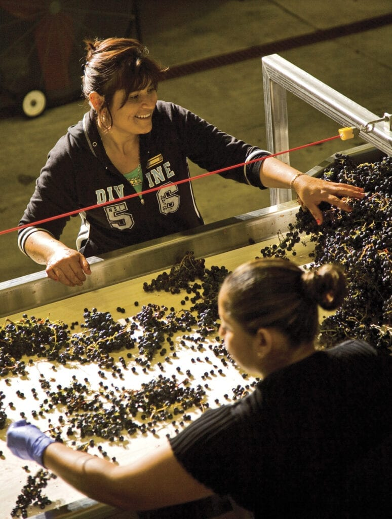 Sorting grapes on winery sorting table, St. Francis