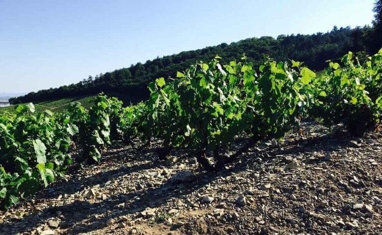 Bush Vines in a Beaujolais cru vineyard