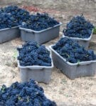 Grapes in bins from Sequoia Grove winery