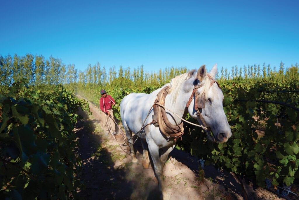Horse in Bodega Chacra vineyard