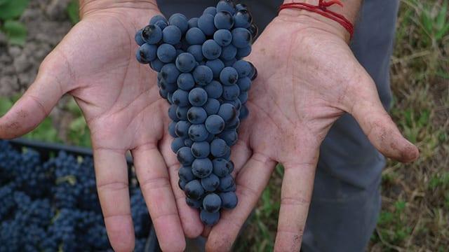 Pinot Noir - Chacra
