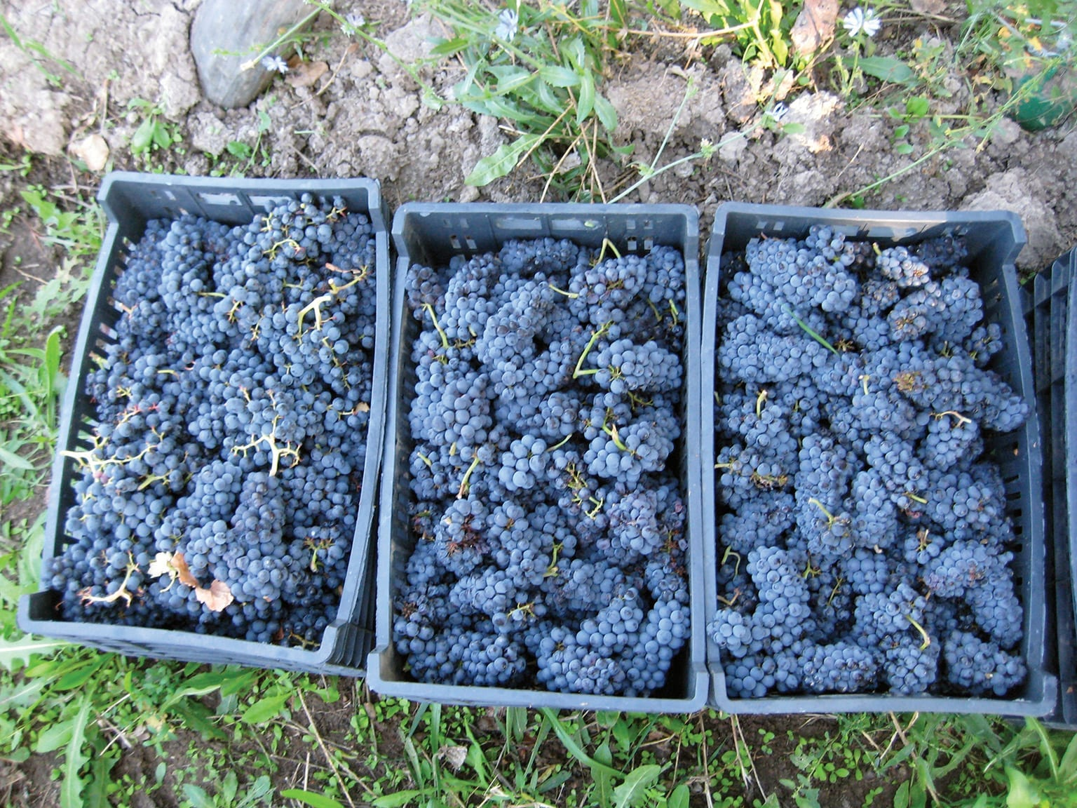 Pinot Noir Grapes. Photo: Bodega Chacra