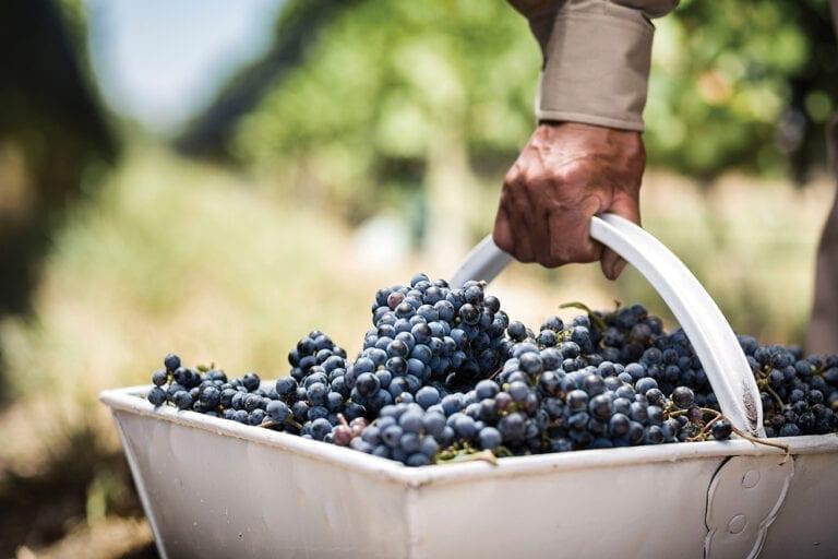Bodega Norton, grapes, harvest