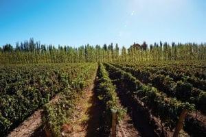 Bodega Chacra vineyards in Argentina