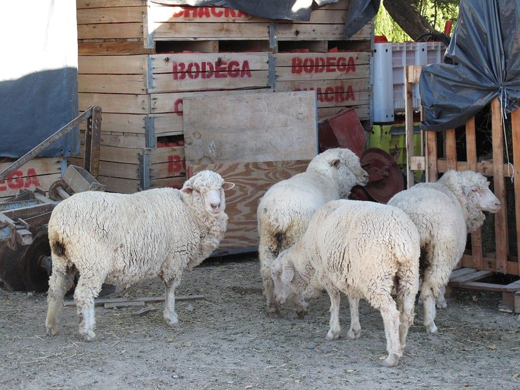 Chacra Sheep