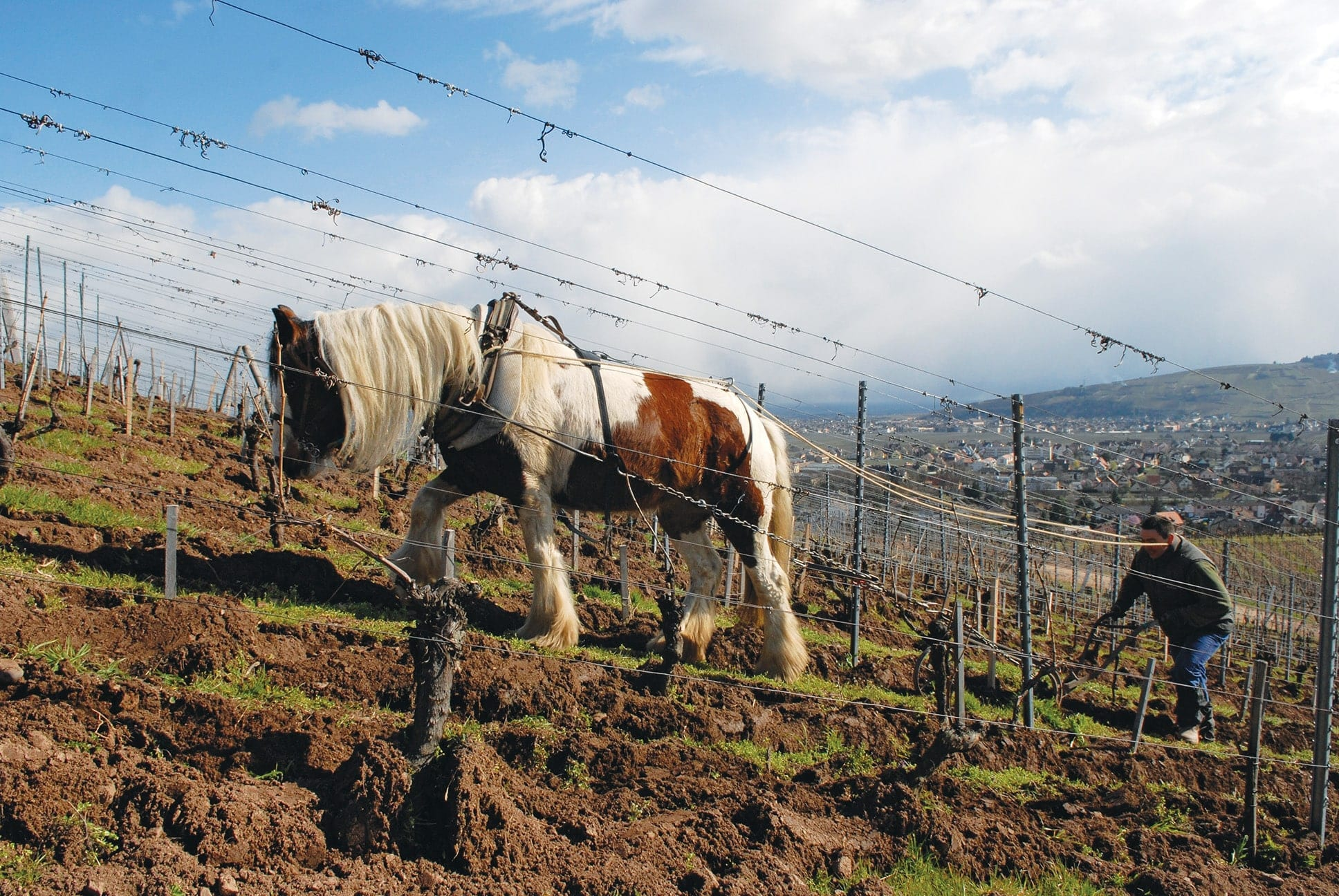 Plowing with a Horse at Domaine Zind-Humbrecht
