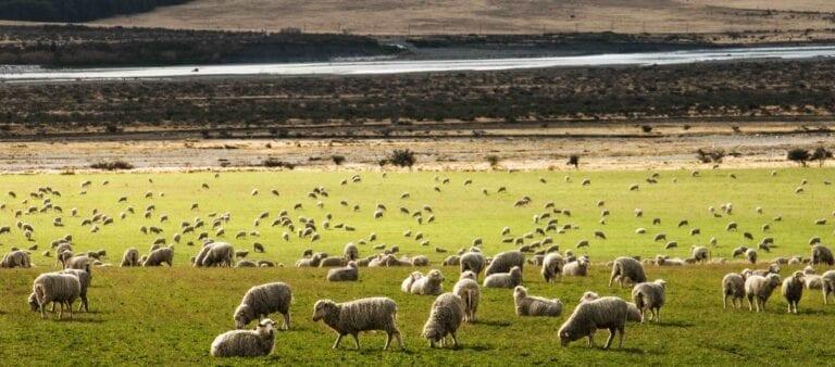 Sheep in New Zealand Landscape