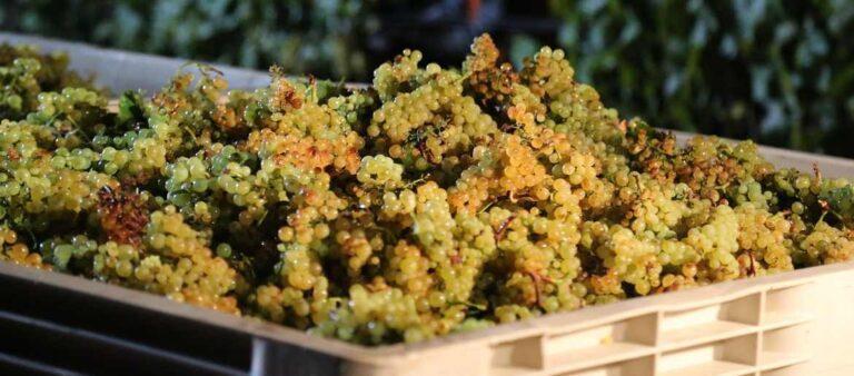 Harvest Chardonnay Grapes