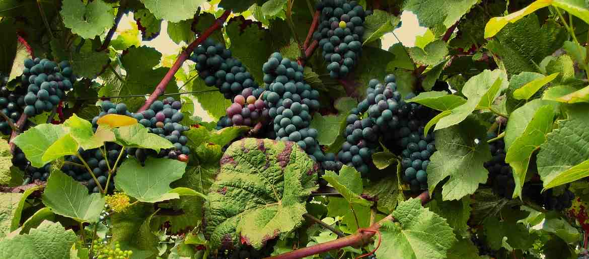 Pinot Noir Vines and Grapes