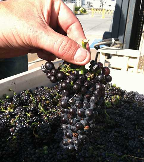 Grape clusters at Domaine Carneros