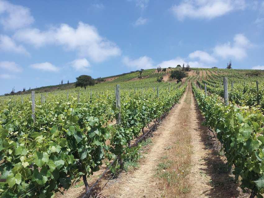 Chilean red wine vineyard - Montes