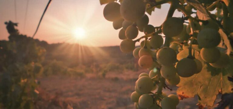 Sunset Provence vineyards and grapes