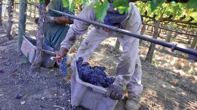 Sequoia Grove harvesting in vineyard